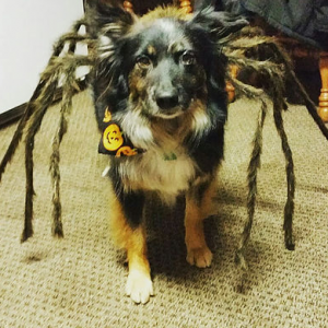Dog dressed as a spider for Halloween